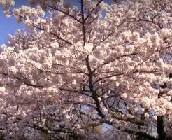 日本の桜海外の反応