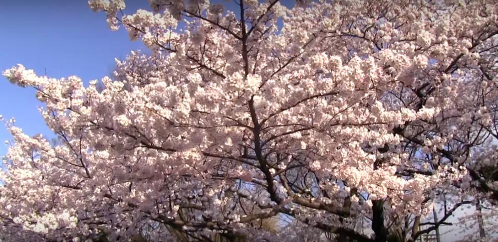【海外の反応】外国人「実際に見てみたい・・・」上野の桜やお花見風景を映した動画